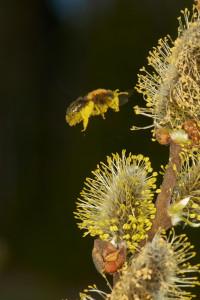 Videsandbi pollinerar sälg. Foto: Ola Jennersten / WWF